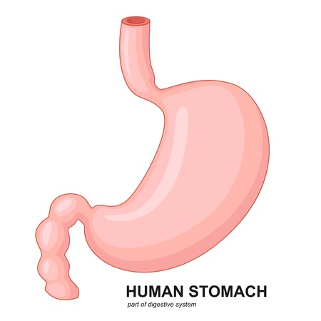 alimentary: Human stomach cartoon Illustration