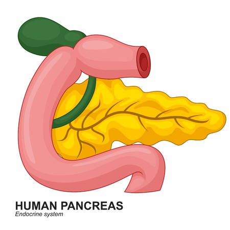 bile: Human Internal Pancreas Cartoon