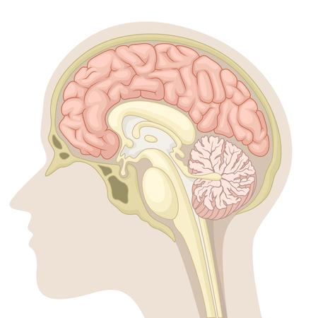 Median section of human brain Illustration