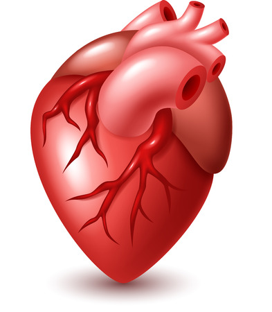 superior vena cava: Human heart illustration