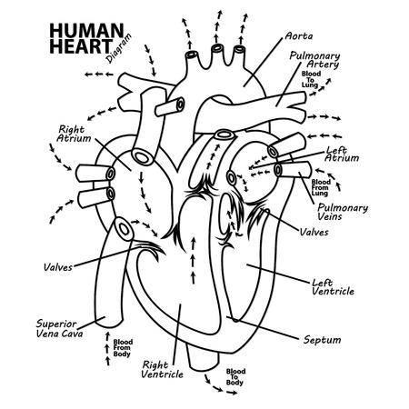 Diagram, heart, left, pressure, isolated, human, aortic, normal, cross, vena, medical, veins.