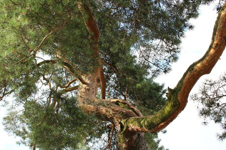 protected plant: pine tree