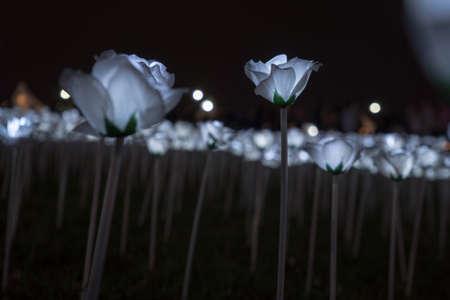 LED White Roses Stock Photo