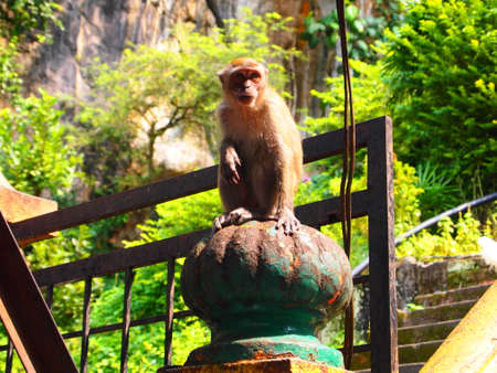 Macaque in Malaysia