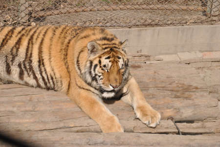 Siberian Tiger in Harbin, China