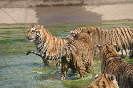 Tigers in the water Stock Photo