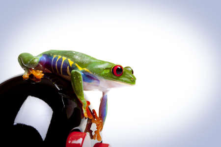red eyed tree frog: Looking Frog
