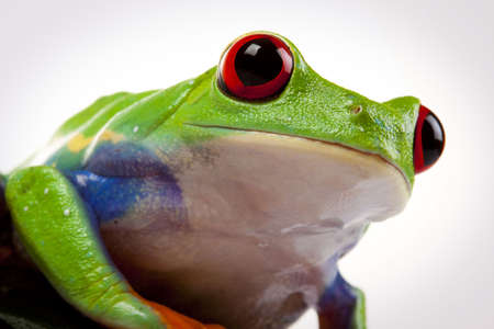 redeyed tree frog: Green Frog portrait