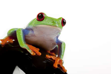 red eyed tree frog: Sitting Frog