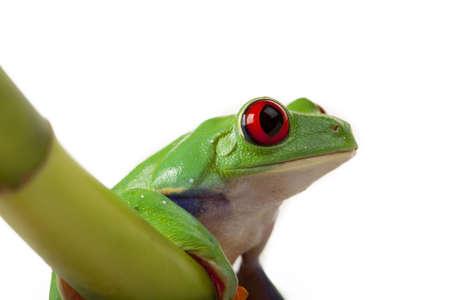 Bamboo Frog photo