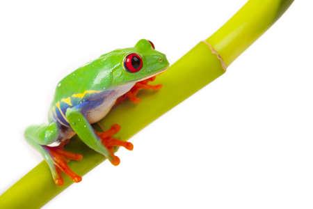 frosch: Bambus-Frosch