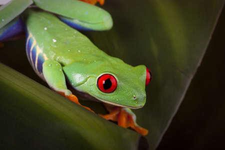 Leaf Frog photo