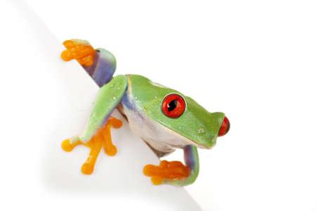 White Board Frog photo