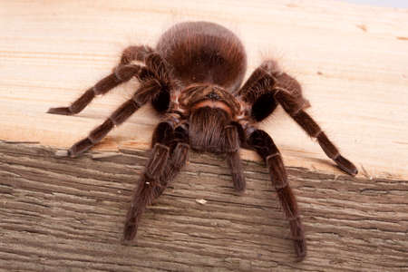 tarantula: Spider on Wood Stock Photo
