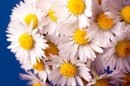 daisys: Beauty White daisys