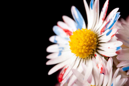 Colored Daisy  photo