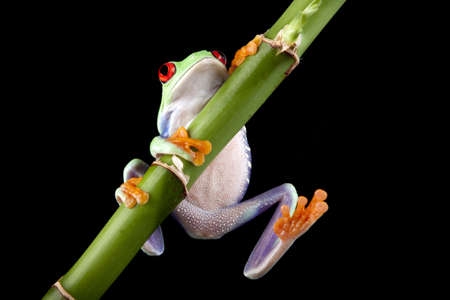 redeyed tree frog: green frog