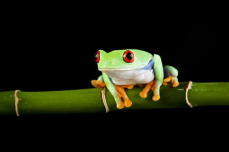 green tree frog Stock Photo - 7200899