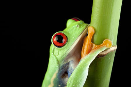 green tree frog photo