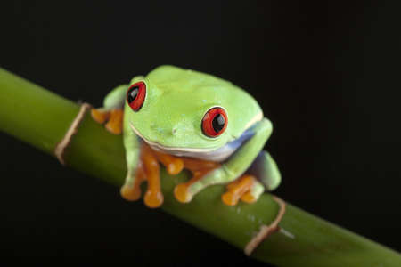green tree frog photo