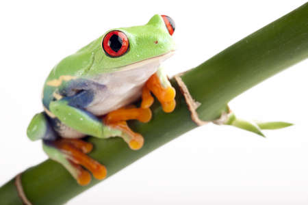 redeyed tree frog: green tree frog Stock Photo