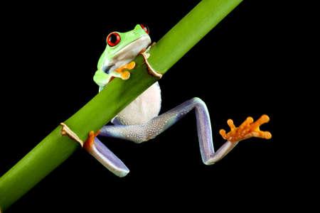 grenouille: Rainette verte