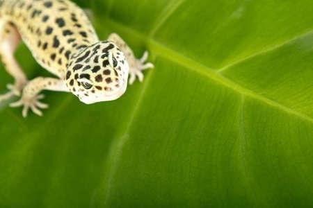 gecko on leaf photo