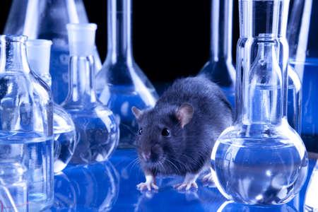 Black rat in laboratory Stock Photo - 8547400