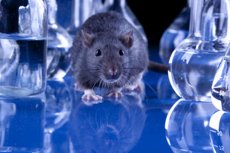Black rat in laboratory