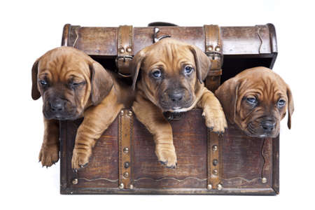 Three happy dogs in chest isolated on white background photo