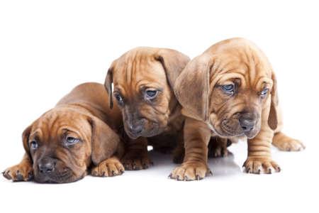 Trzy szczęśliwe psy na białym tle Zdjęcie Seryjne - 11473713