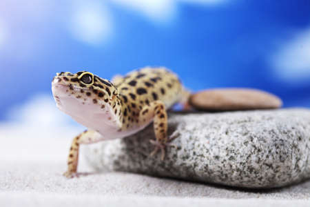 Gecko on sand photo
