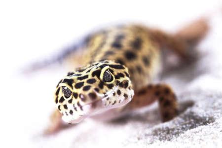 insectivores: Gecko closeup