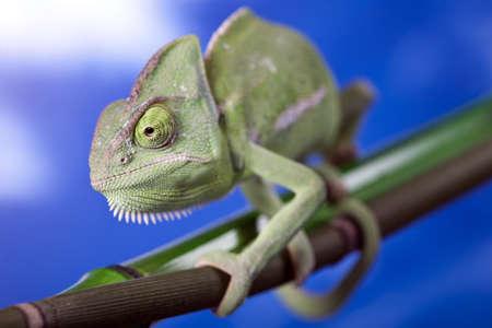 detai: Green Chameleon closeup Stock Photo
