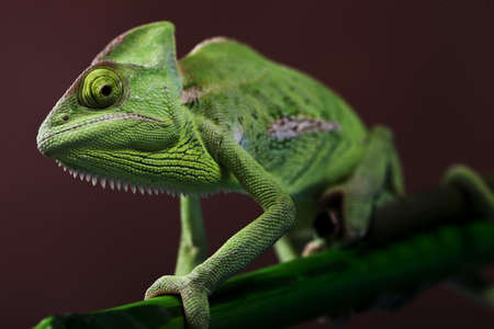 Green Chameleon closeup photo