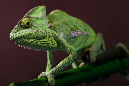 Green Chameleon closeup Stock Photo - 12112673
