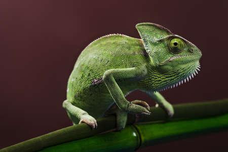 Green Chameleon closeup photo