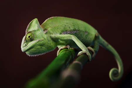 chameleon lizard: Green Chameleon closeup Stock Photo