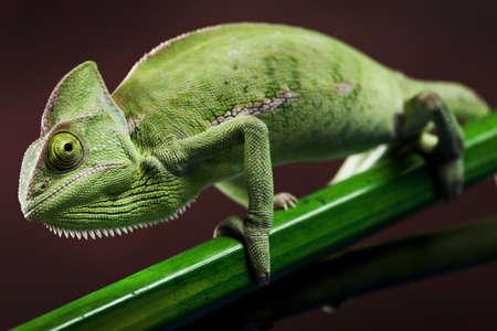 Chameleon closeup photo