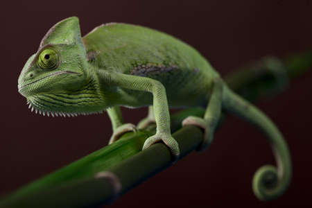 Chameleon closeup photo