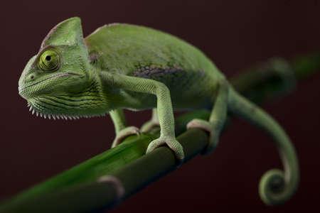 Chameleon closeup Stock Photo - 12112602