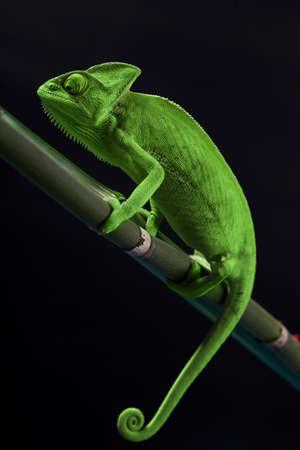 Chameleon Nahaufnahme Standard-Bild