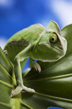 detai: Chameleon closeup