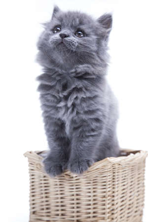 Little gray kitten playing isolated on white background photo
