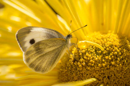 Beautifull yellow butterfly, on a yellow flower