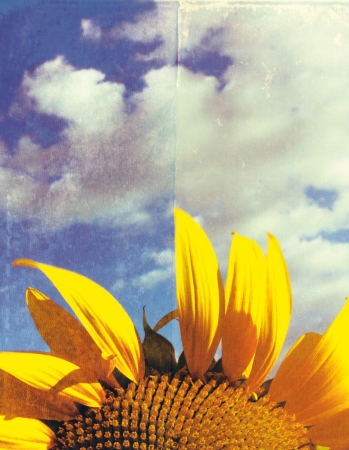 sunflower on a grunge background photo