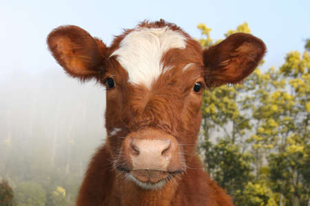 closeup cow face: A friendly National Park cow in Mt Field, Tasmania, Australia Stock Photo
