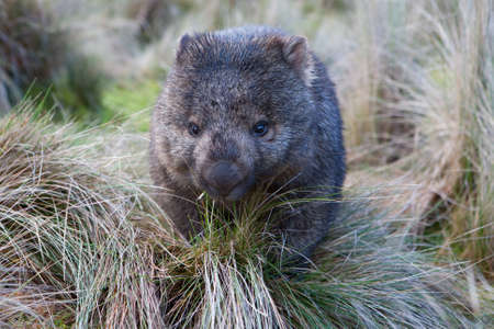 wombat: Un wombat en pastizales en Cradle Mountain, Tasmania