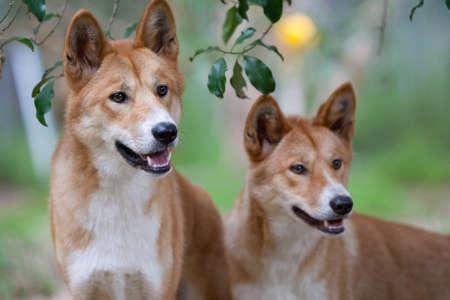 Twee dingo's op zoek naar voedsel mogelijk in de buurt van Melbourne, Victoria, Australië