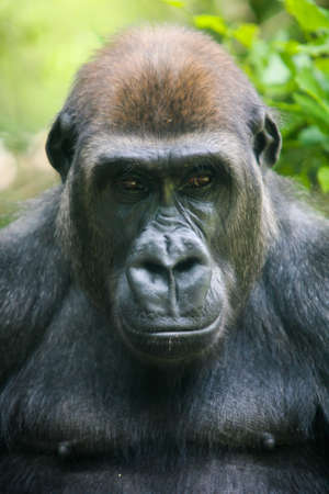 A gorilla looks pensively in Melbourne, Victoria, Australia photo